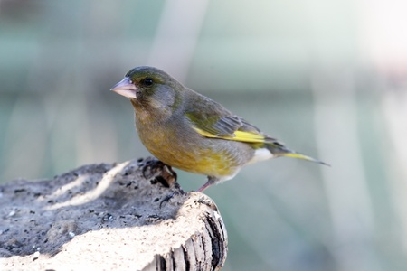 greenfinch: Greenfinch on trees mushroom Stock Photo