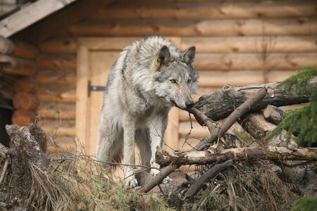 Wolf  near woods building