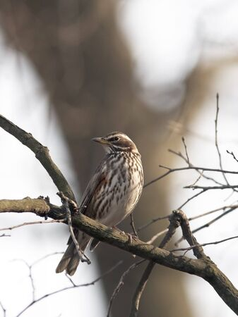 Redwing sitting at branch