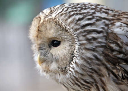 Owl in hunting moment Stock Photo