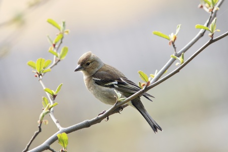 chaffinch: Chaffinch female on spring branch