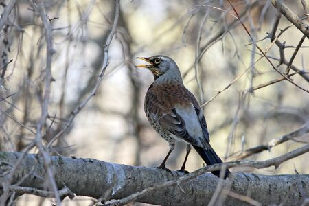 Fieldfare at branch with opening beak photo