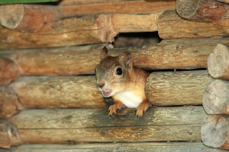 agape: Squirrel looking out from birdhouse