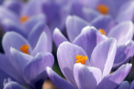 colord: Spring crocuses Stock Photo