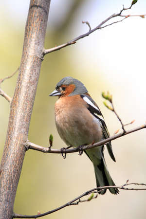 chaffinch: Chaffinch male on branch Stock Photo