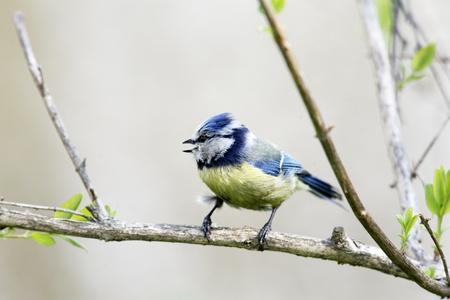 blue tit: M�sange bleue pleurer sur la branche Banque d'images
