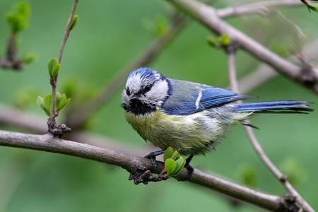 blue tit: M�sange bleue en habitat
