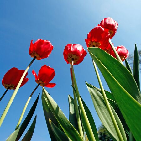 Red tulips on blue sky background Stock Photo