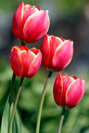 Red tulips close up