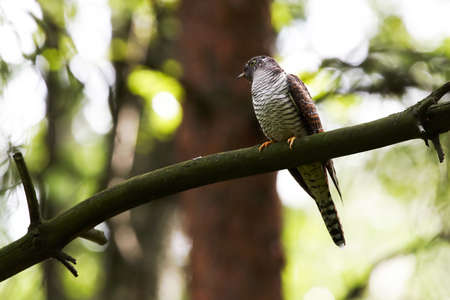 Cuckoo  sitting on branch in forest