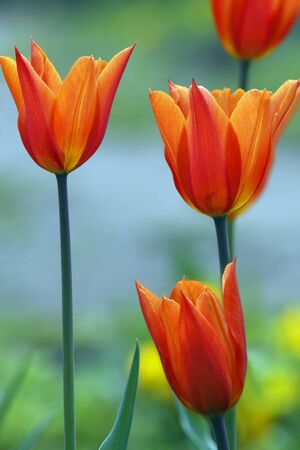 Orange-red tulips photo