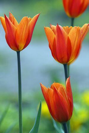 Orange-red tulips photo