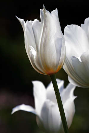 White beautiful tulips