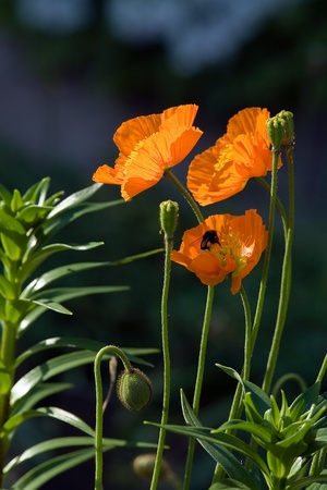 Poppies in summer garden