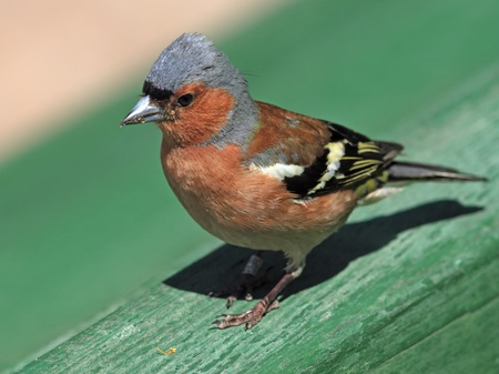 chaffinch: Chaffinch walks on the fence Stock Photo