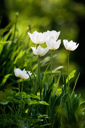 White tulips in grass