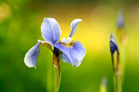 Blue siberian iris on flowerbed