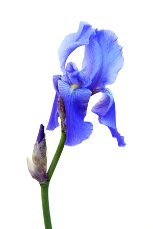 Blue iris on white background