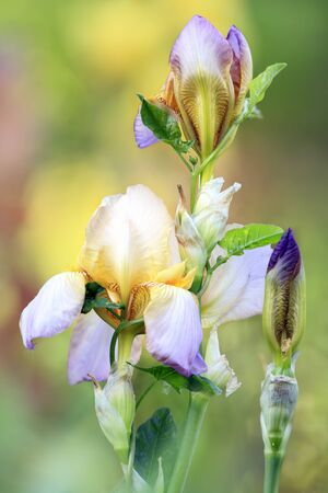 Rare bearded iris flower in garden