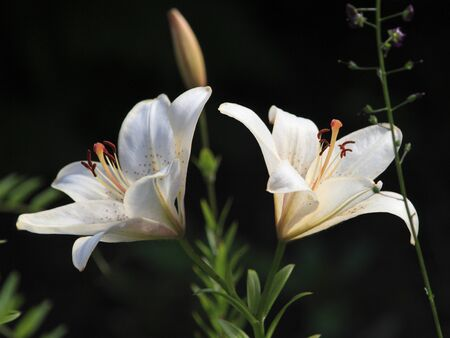 White lilies buds in garden Stock Photo
