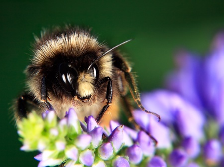 Bumblebee on flower close up