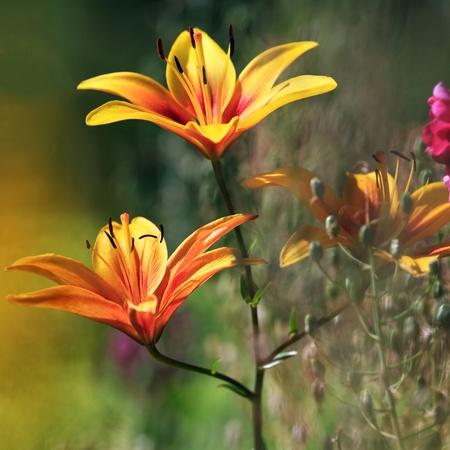Orange lily buds in summer garden
