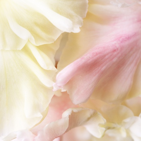 pinkcream: Pink-cream gladiolus petals close up