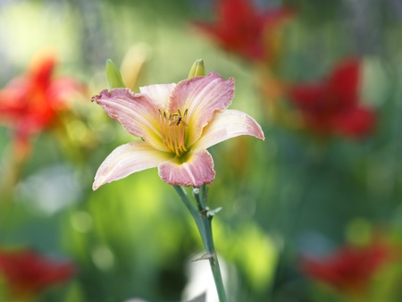 Pink day lily with red lilies around in garden photo