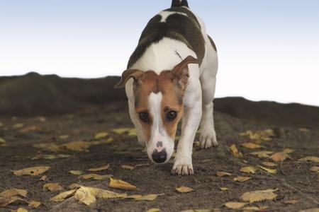 sneaks: Creeps dog on fallen leaves