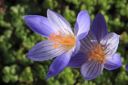 crocuses: Blue autumn crocuses on flowerbed