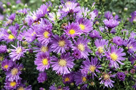 Asters bush in autumn garden
