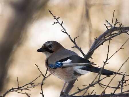 Jay sittng on branch in forest photo