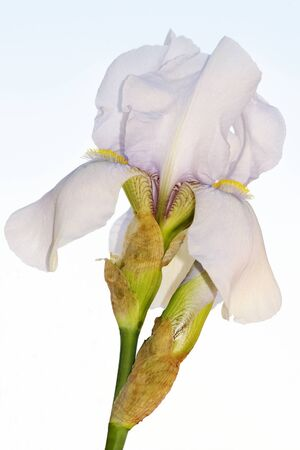 Beautiful bearded iris flower on sky background Stock Photo - 11286557