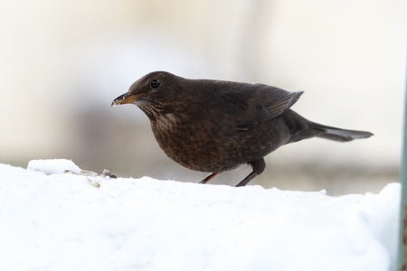 Blackbird eating seeds on snowdrift photo
