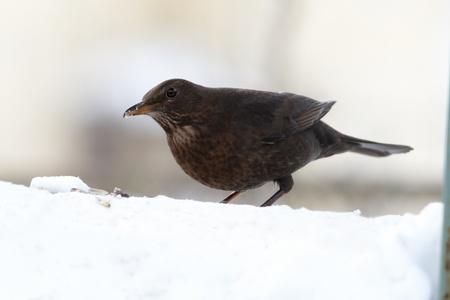 snowdrift: Blackbird eating seeds on snowdrift Stock Photo