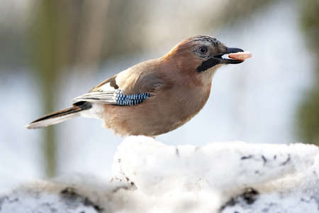 Jay with sausage in beak on snow photo