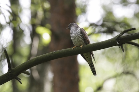 Cuckoo on branch in forest