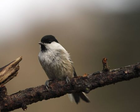 Willow tit on branch looking ahead photo