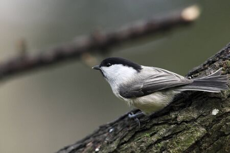 Willow tit on tree photo