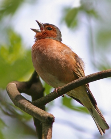 Chaffinch singing spring song on branch Stock Photo
