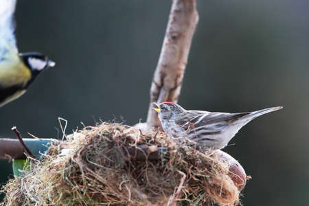 nestle: Conflict between redpoll and tit on nestle
