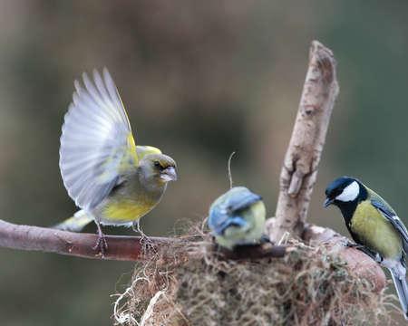menacing: Menacing look of  greenfinch bird