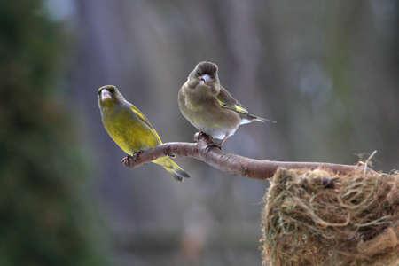 greenfinch: Greenfinch family sitting near nestle
