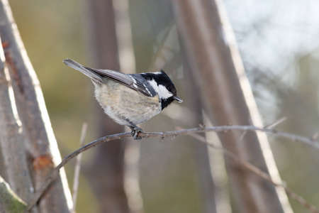 Willow tit sitting on branch photo