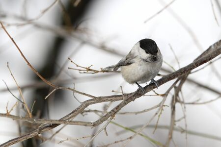 Willow tit in bush on branch photo