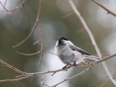 Willow tit on branch portrait photo