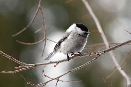Willow tit in bush close up photo