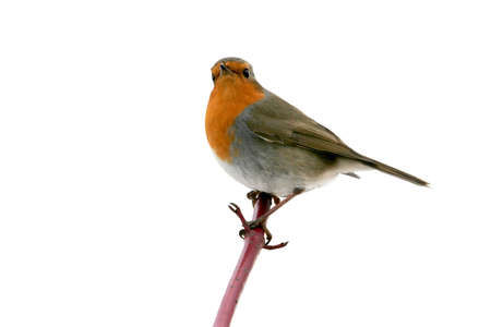 Robin portrait on white background photo
