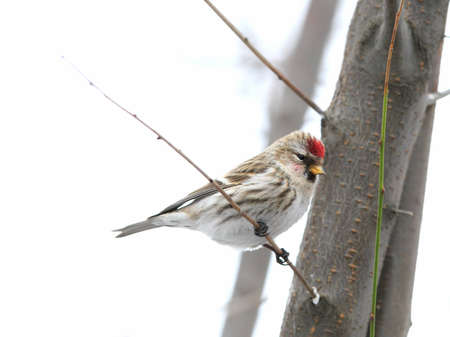 poll: Red poll sitting on branch