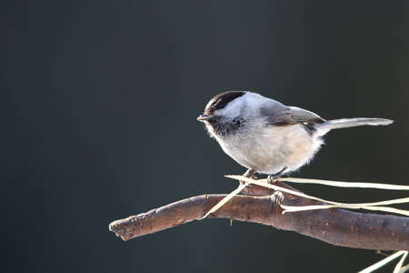 Curious willow tit on branch photo